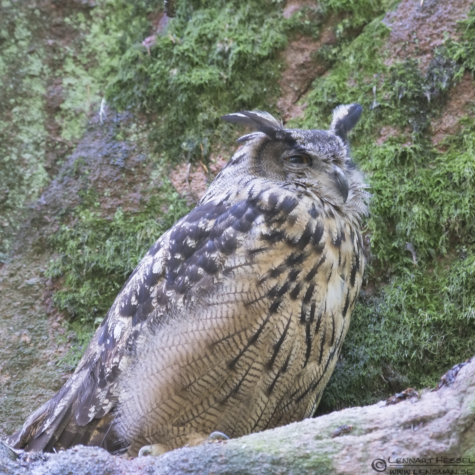Eurasian Eagle-Owl at Nordens Ark