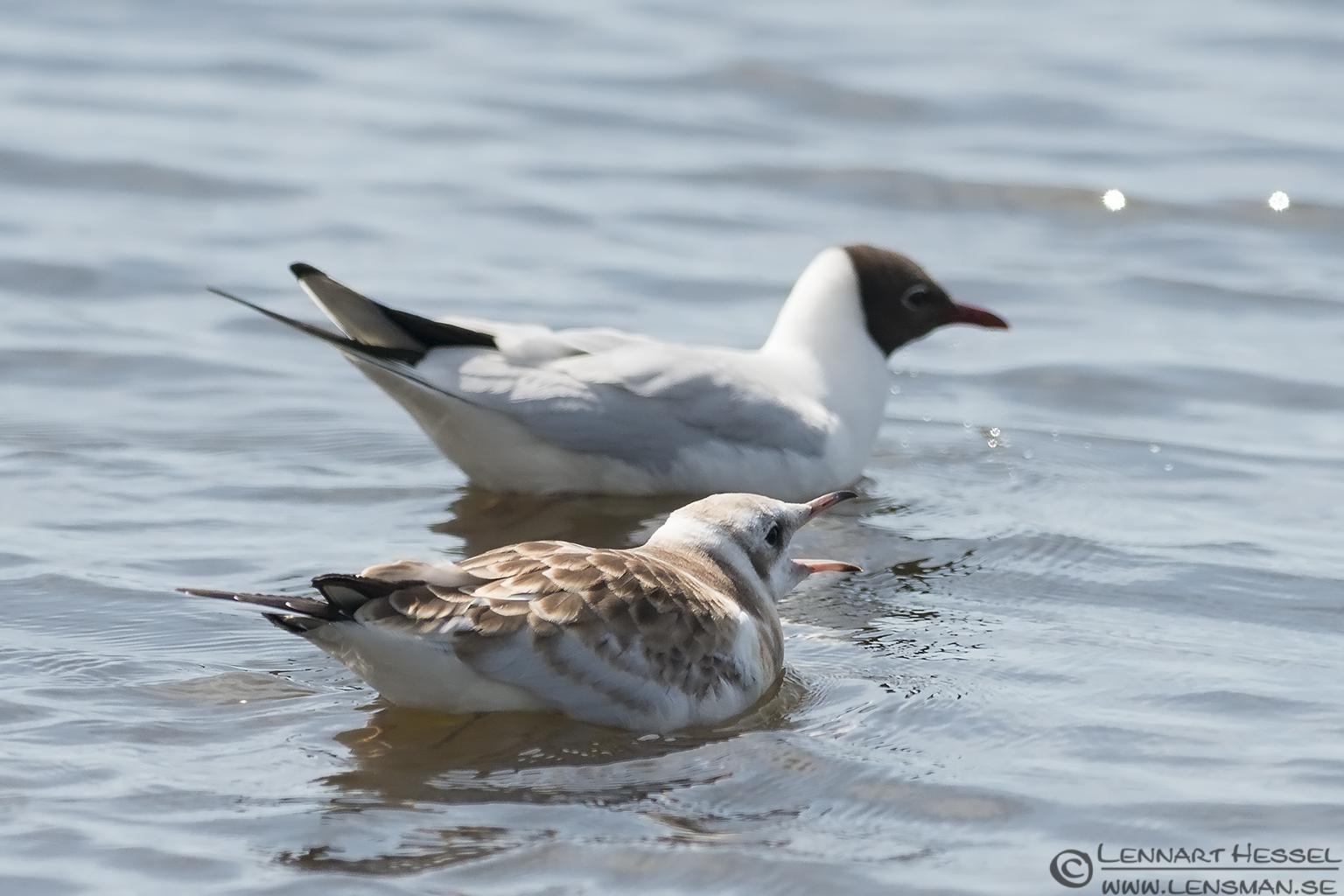 Begging Black-headed Gull visit West Gotland