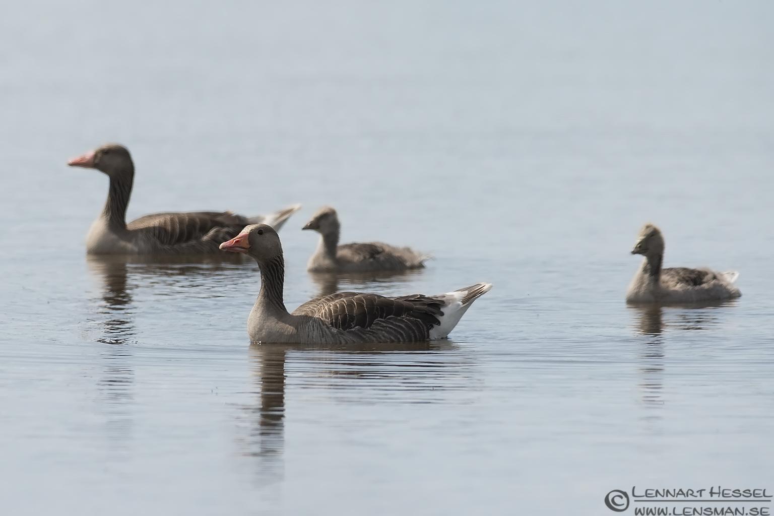 Greylag Goose family visit West Gotland
