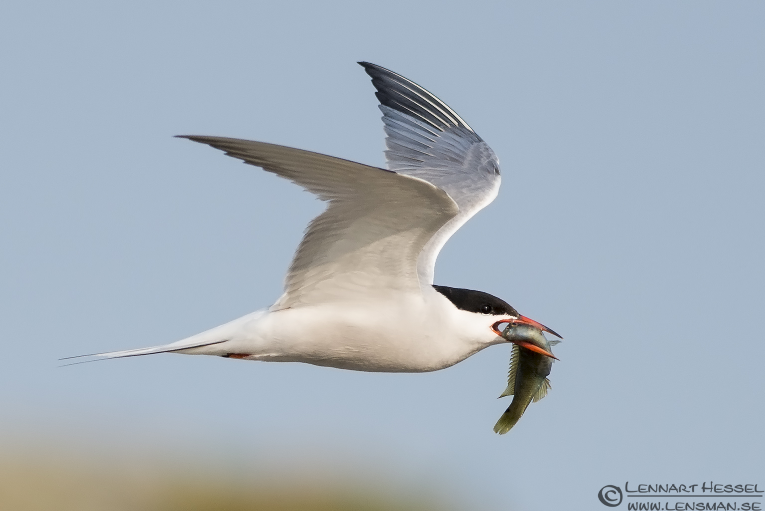Flying Common Tern evening