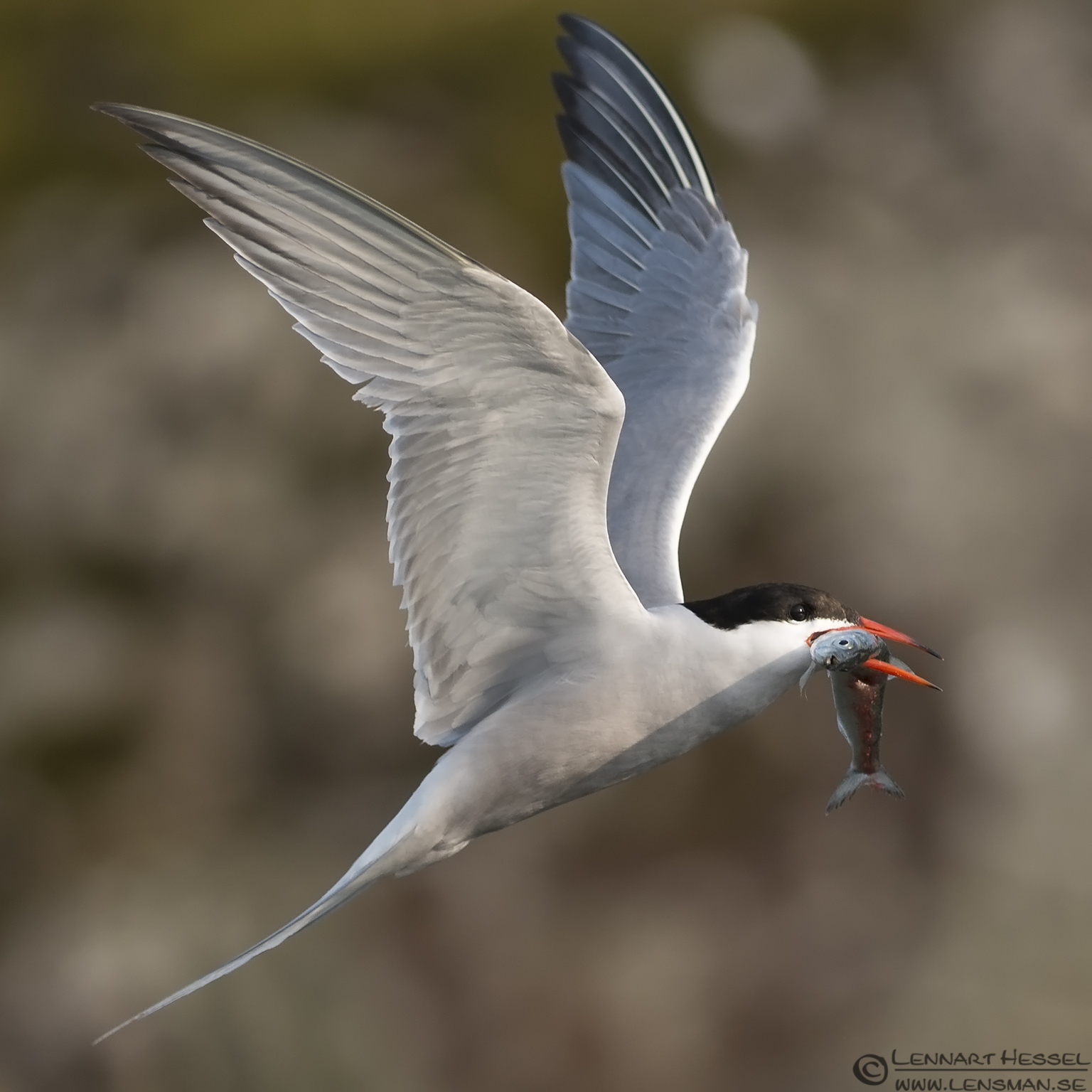 Common Tern with catch evening