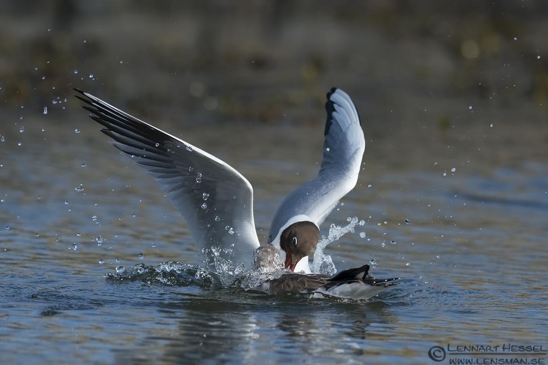 Black-headed Gull fight evenings