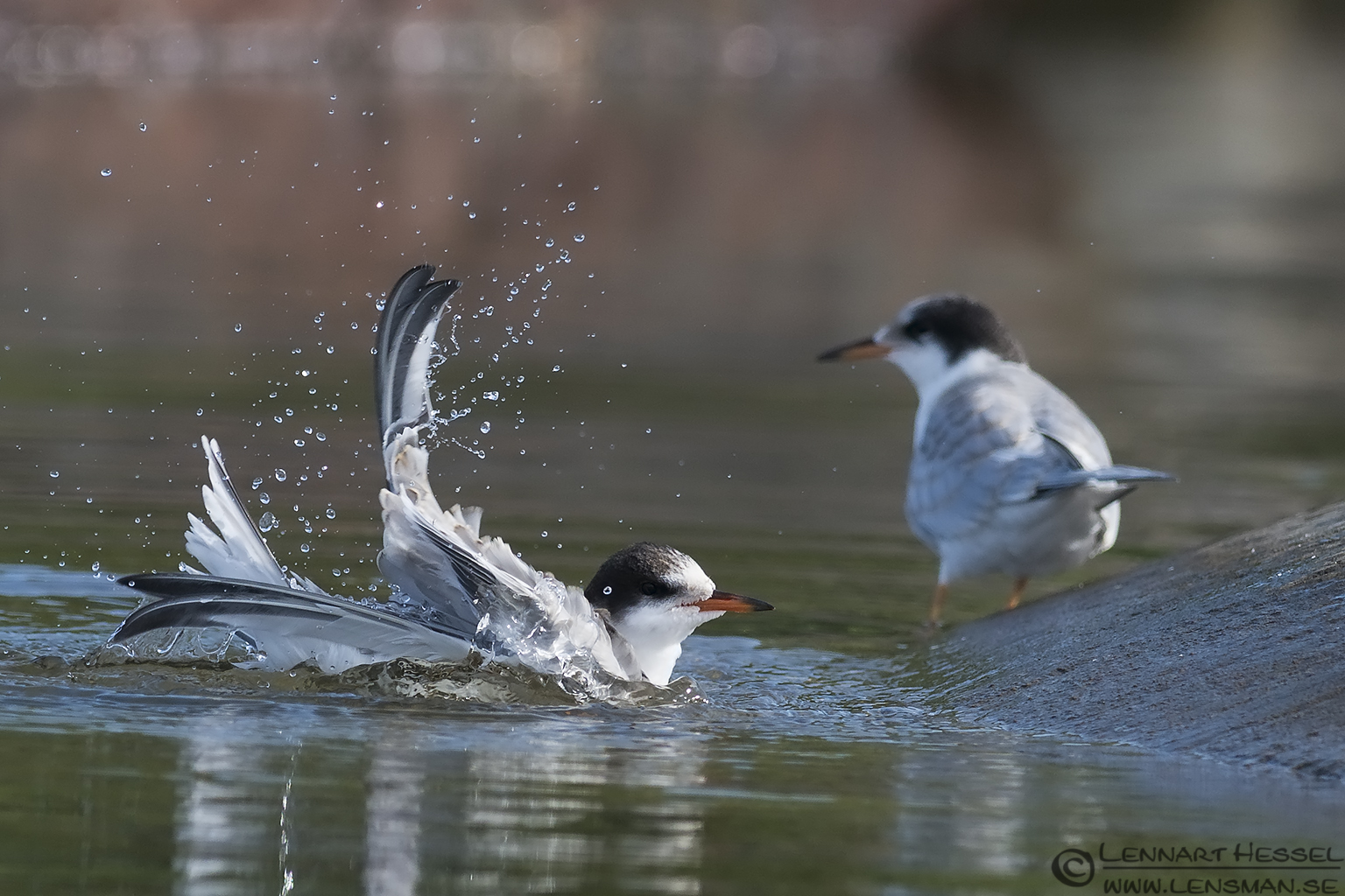Juvenile Common Terns washing up evening