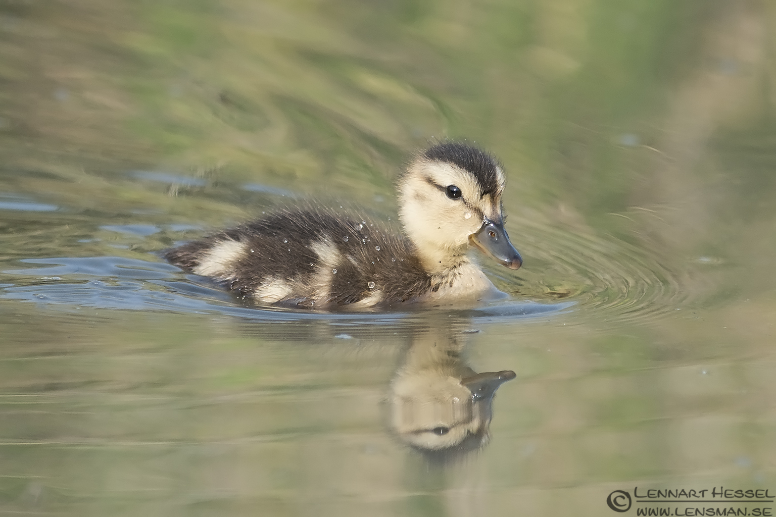 Juvenile Gadwall morning Getterön
