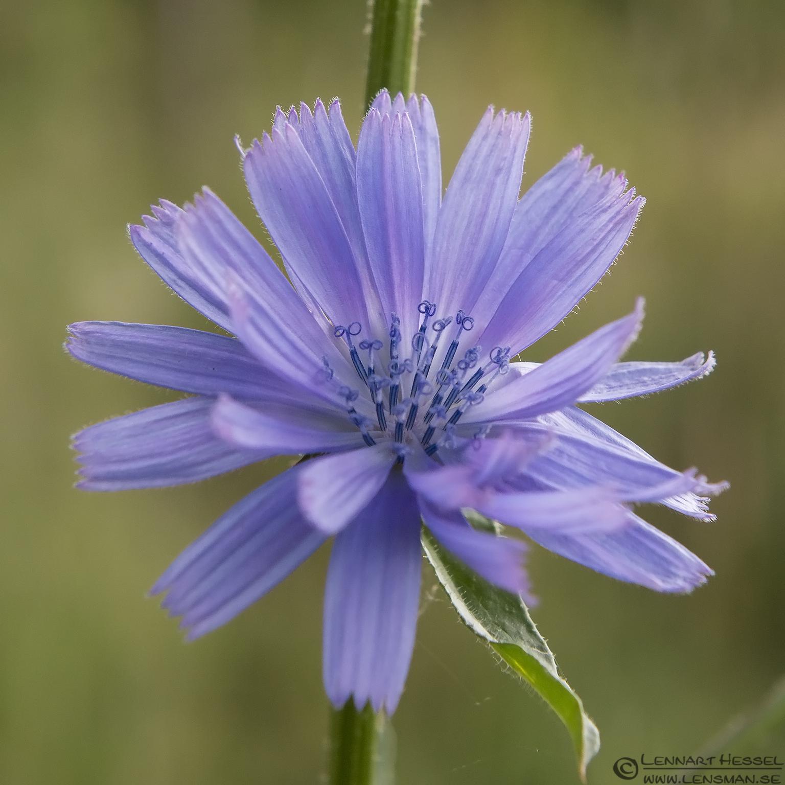Blue flower lazy weekend