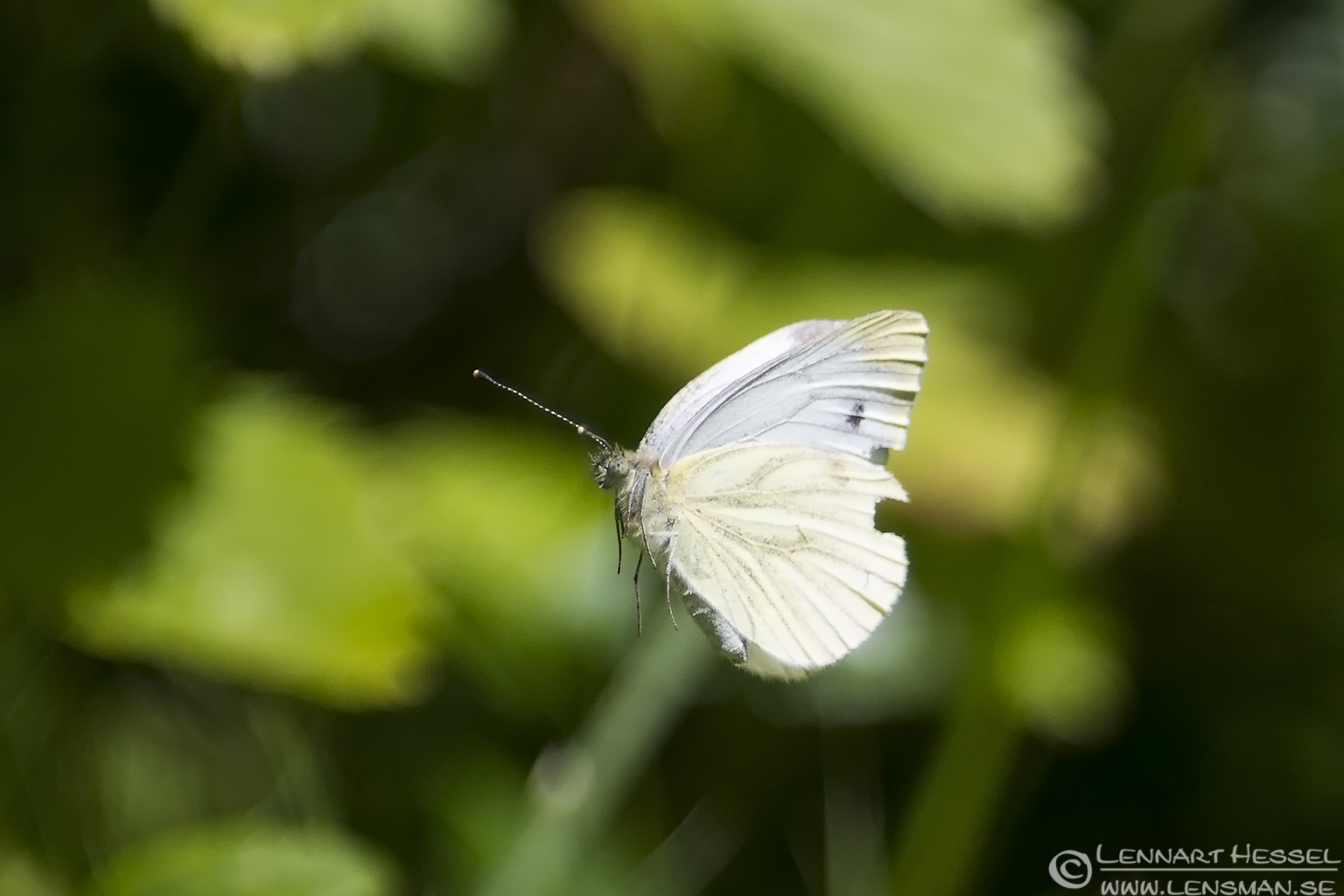 Large White Butterfly lazy weekend