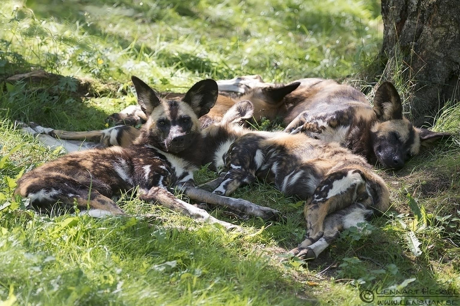 African Wild Dogs Borås Zoo