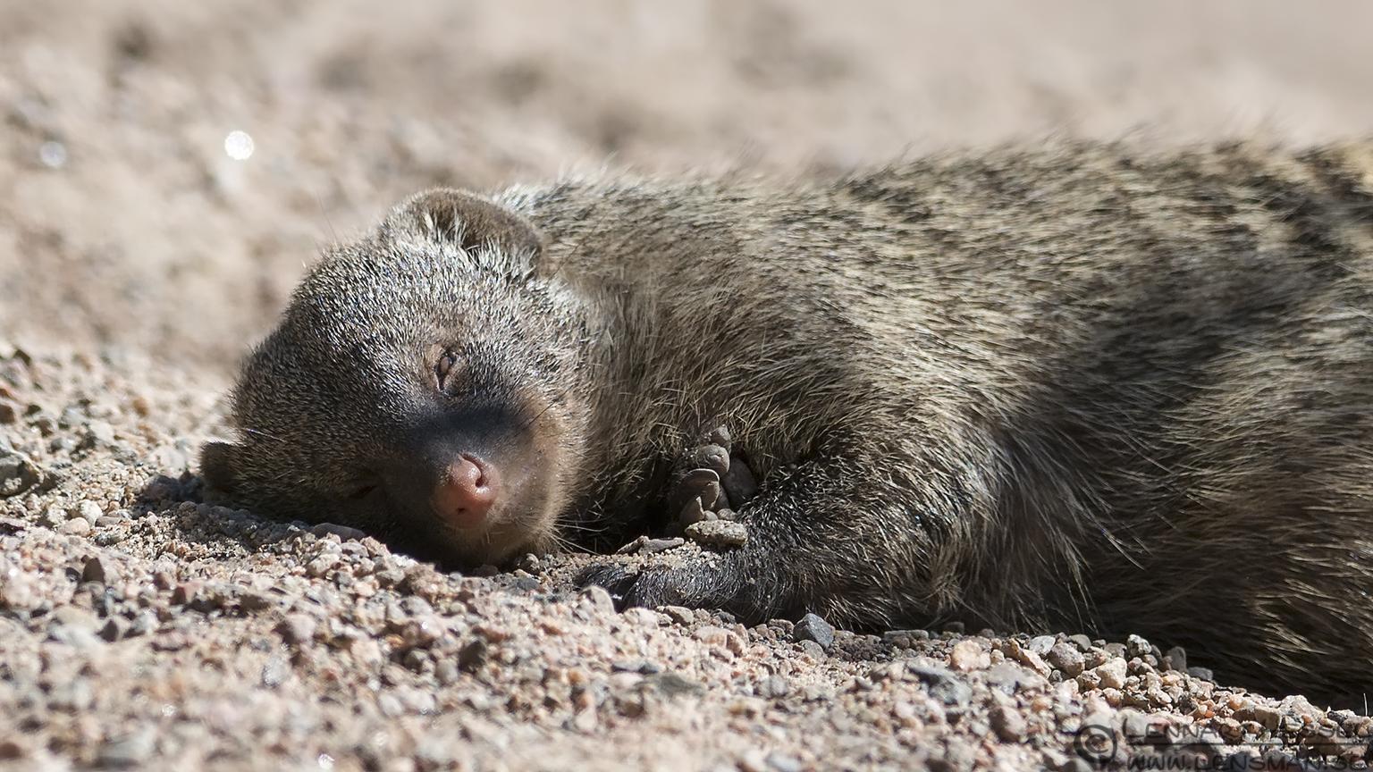 Banded Mongoose Borås Zoo
