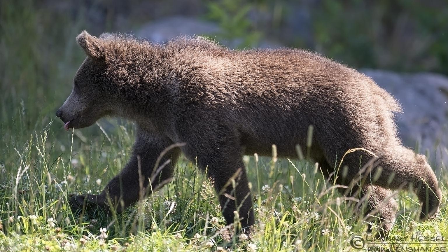Brwon Bear cub Borås Zoo