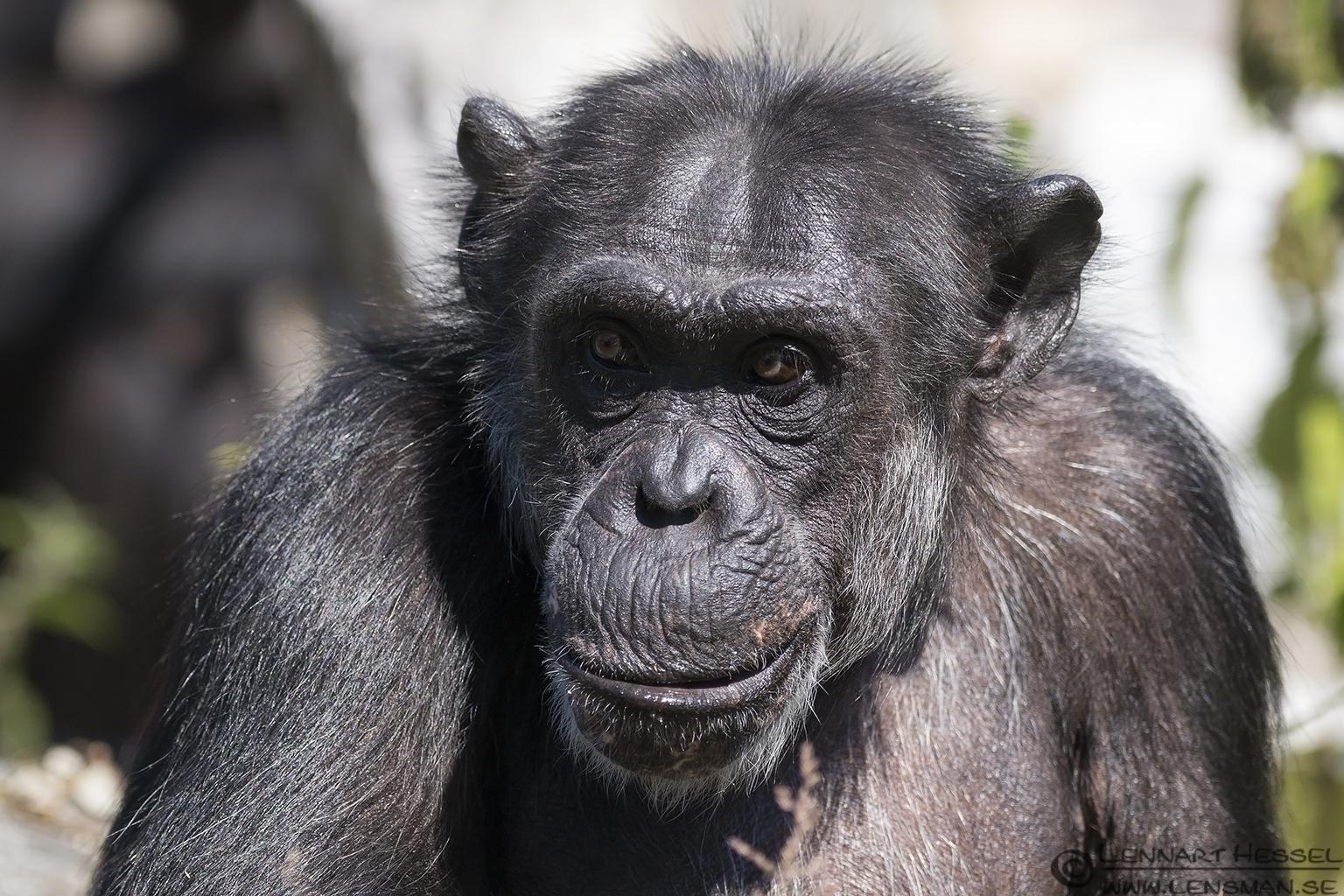 Chimpanzee grandma Borås Zoo
