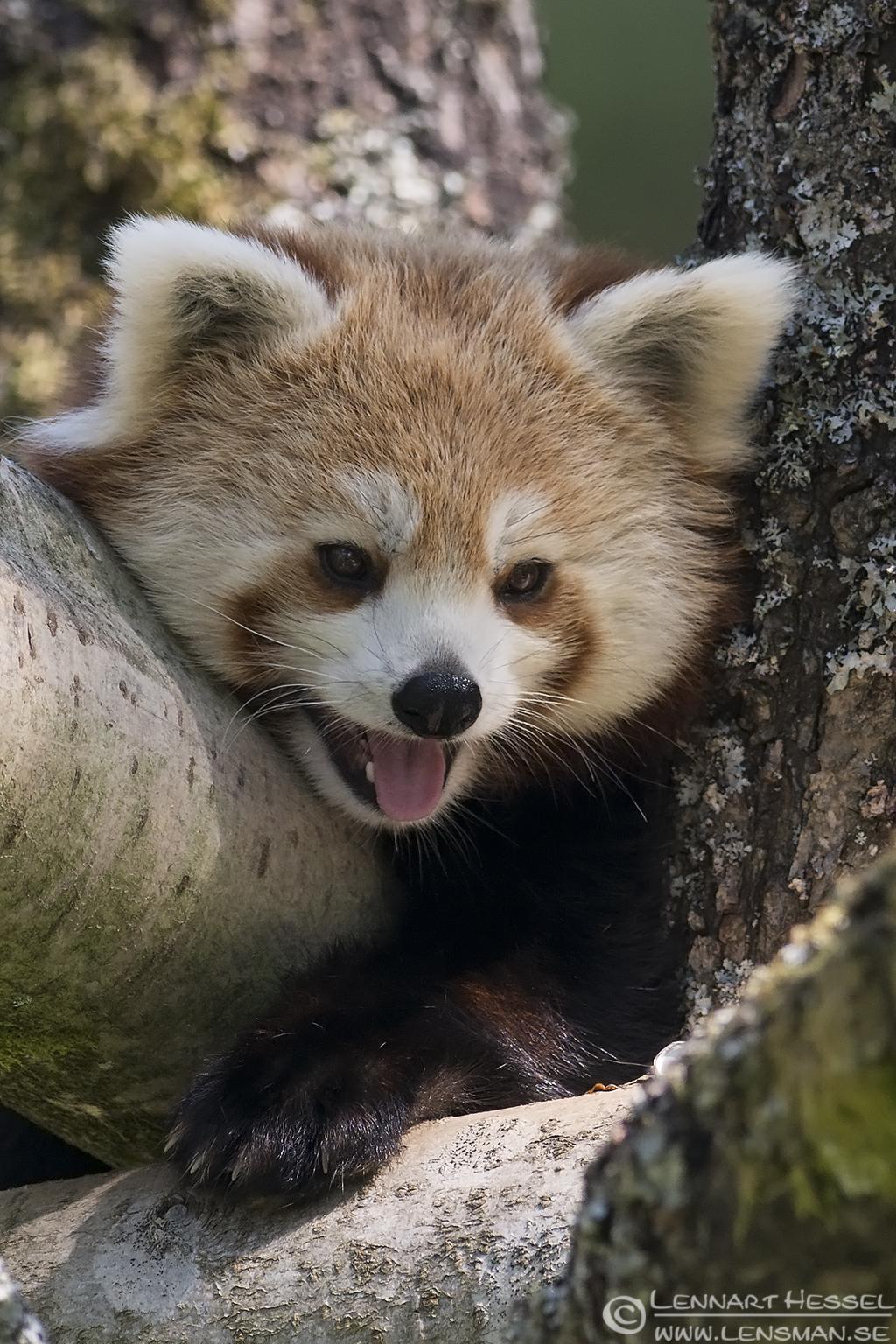 Red Panda Borås Zoo