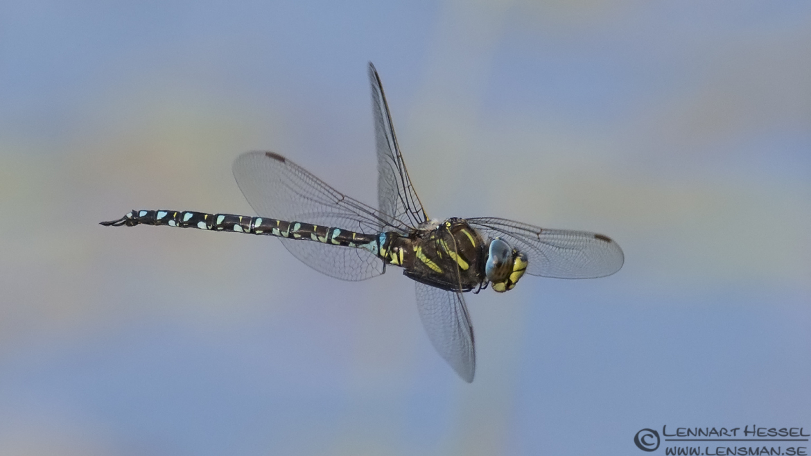 Flying Common Hawker picture