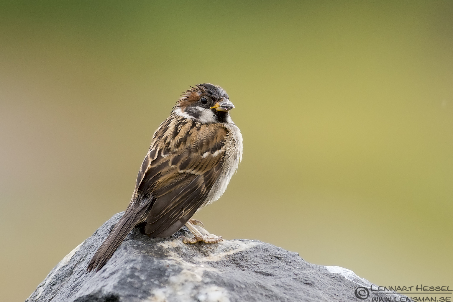 House Sparrow picture