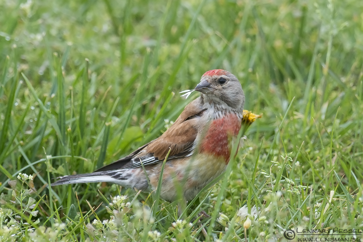 Common Linnet picture