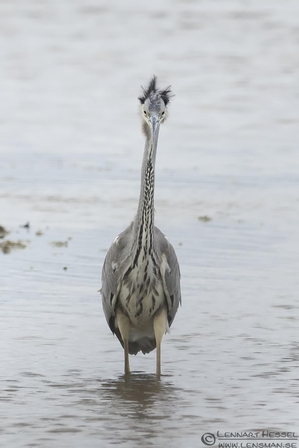 Waiting Grey Heron Halland