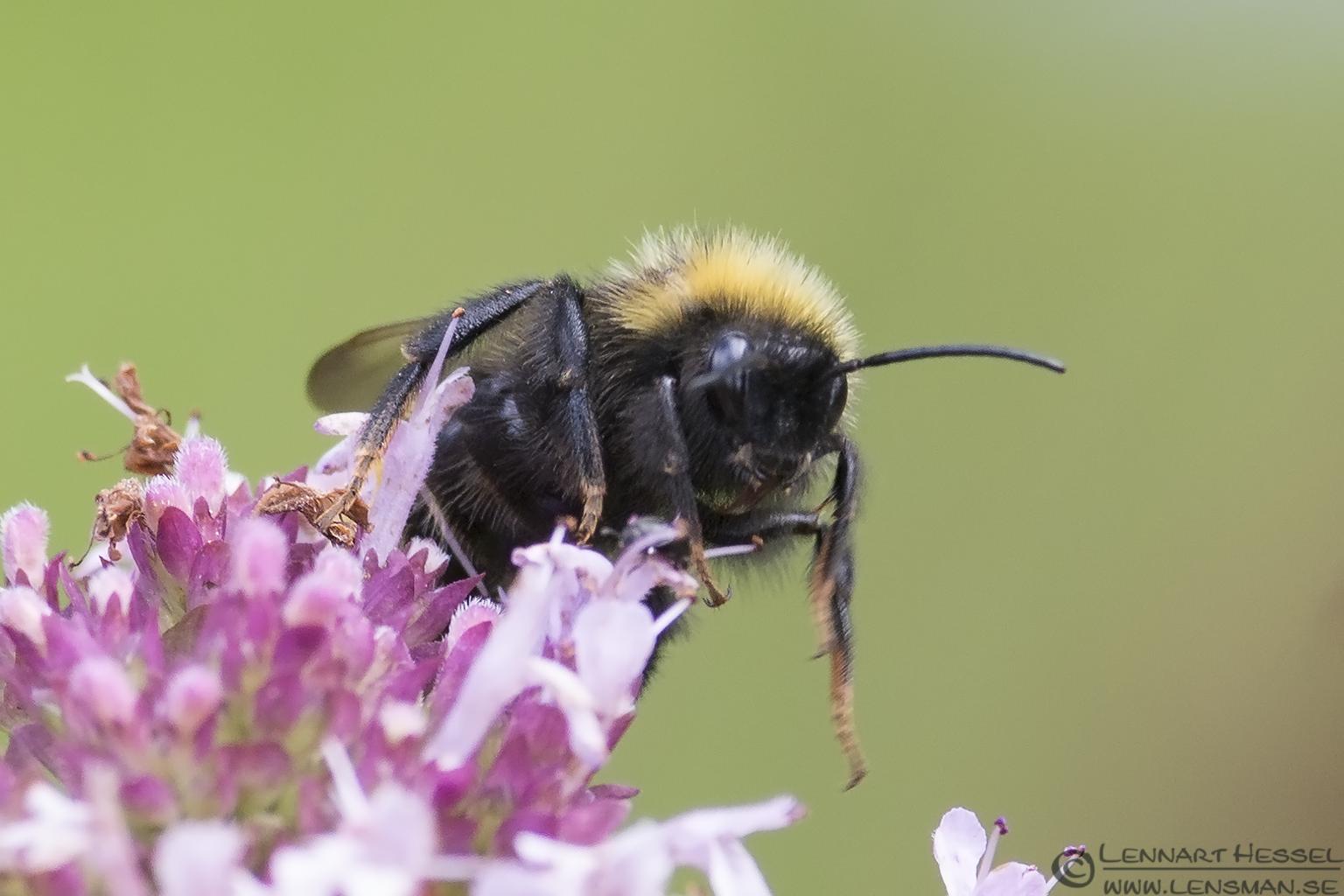 Bee Nossan