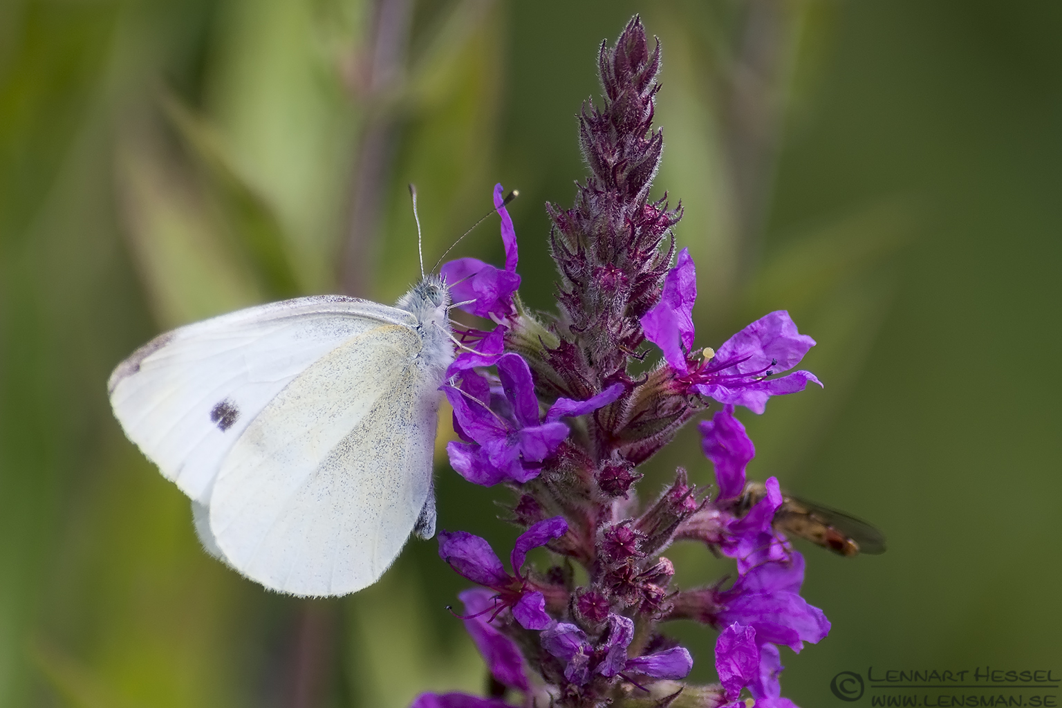 Large White Butterfly Nossan