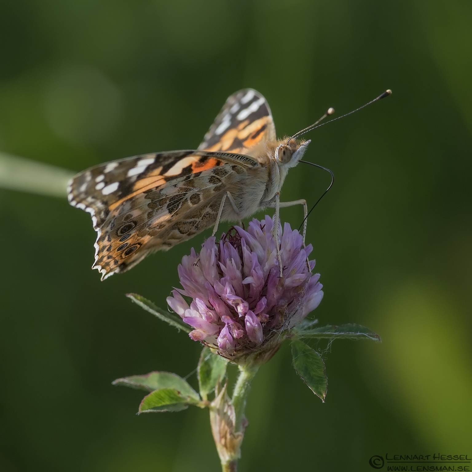 Painted Lady Utby