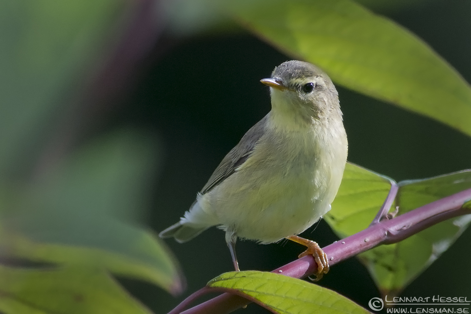Willow Warbler Utby