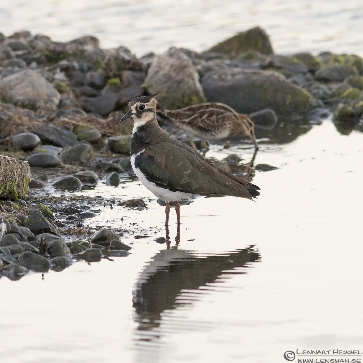 Northern Lapwing and Common Snipe hectic