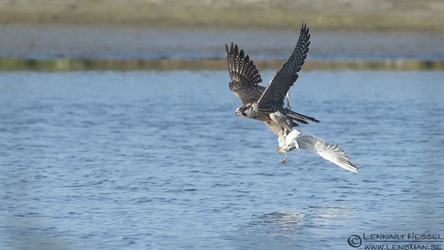 Peregrine Falcon with the prize hectic