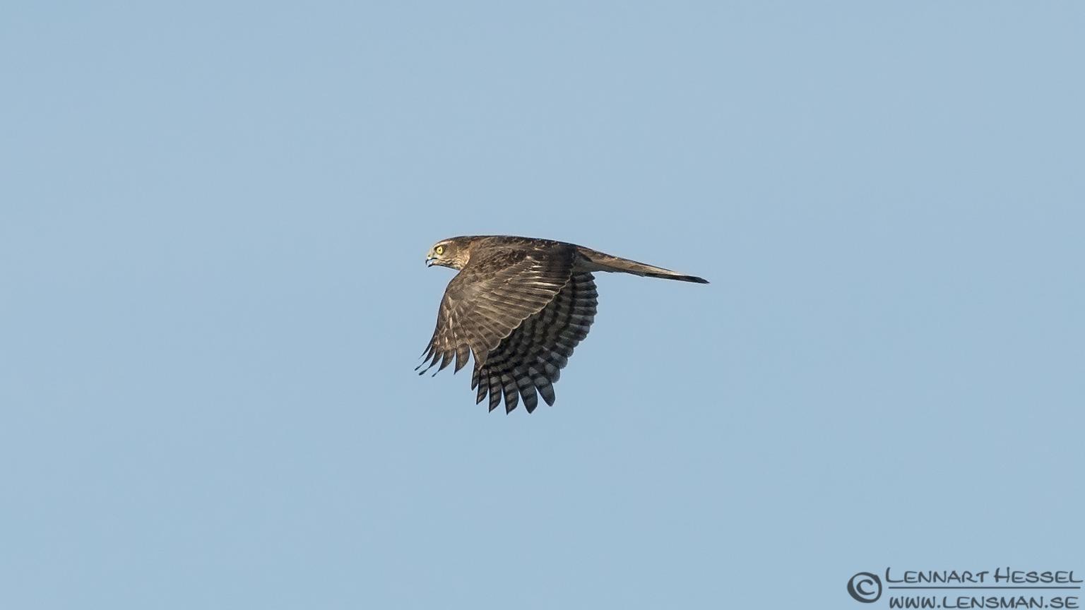 Sparrowhawk hectic