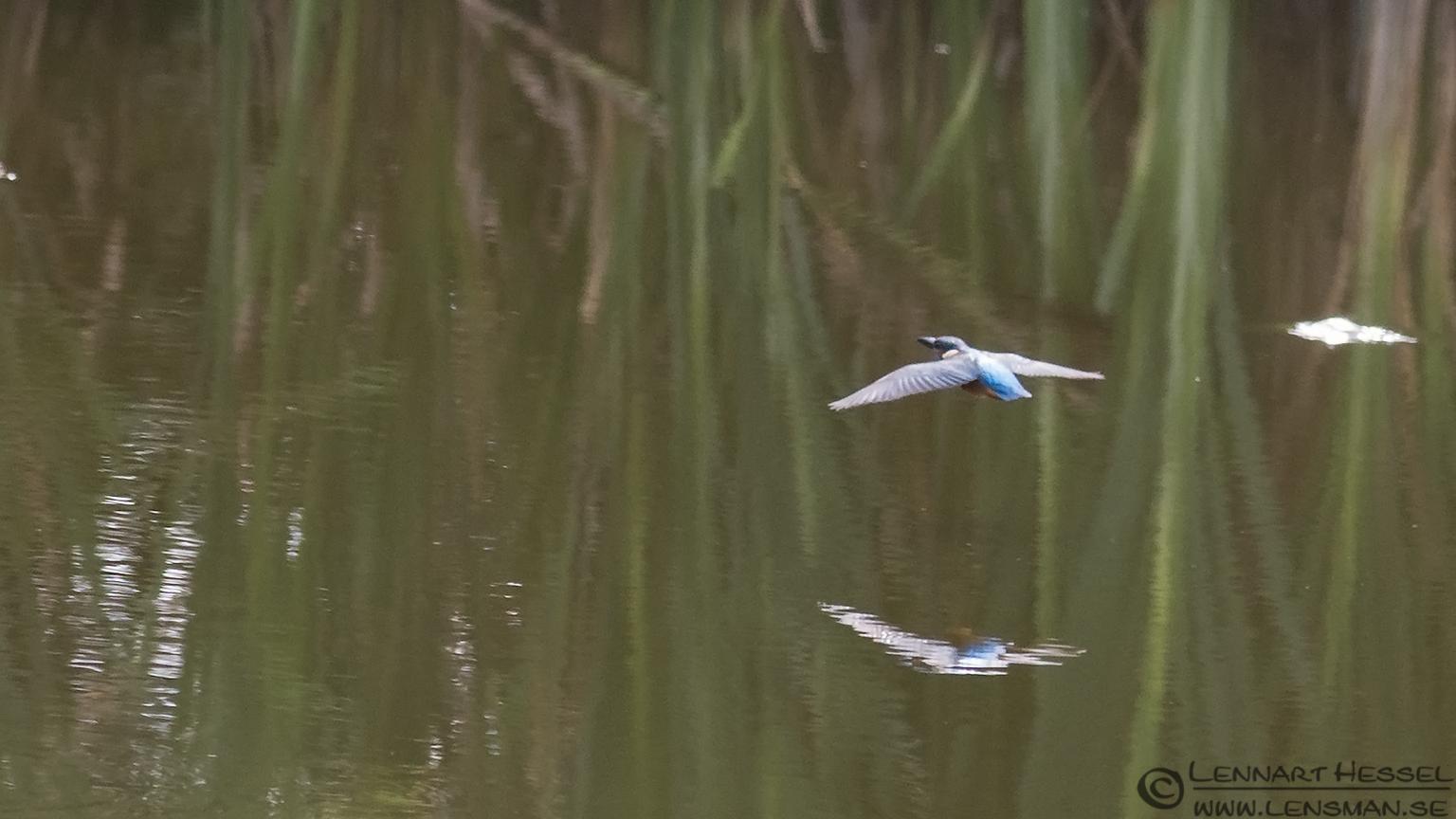 Flying Common Kingfisher weekend