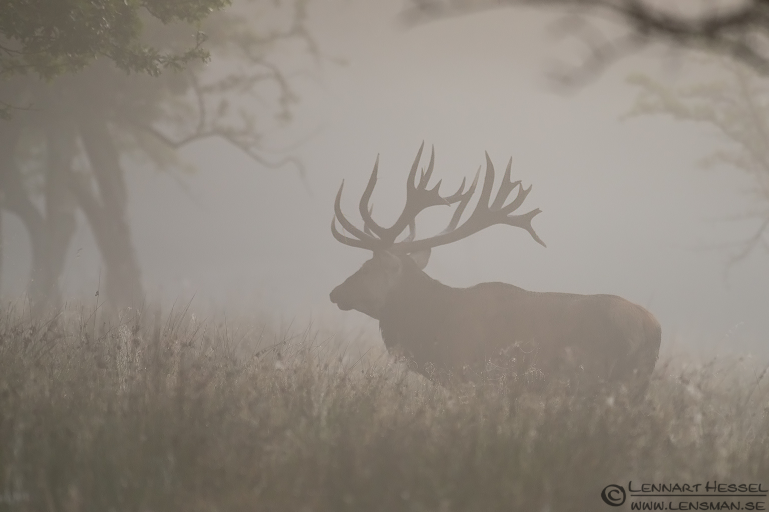 Wandering male Red Deer weekend