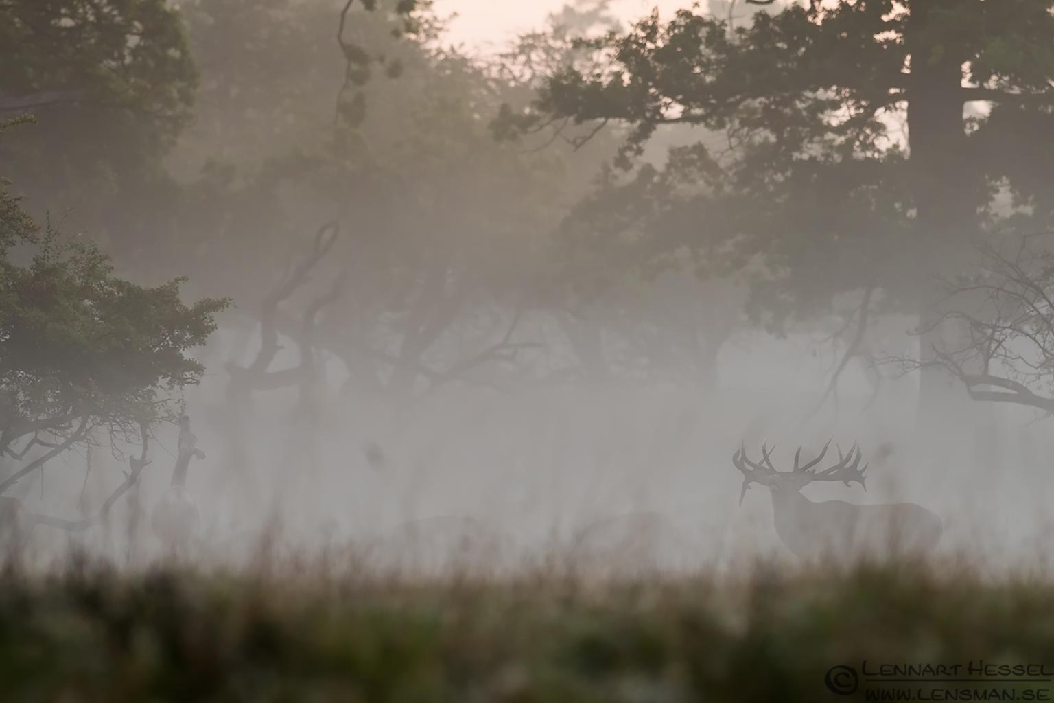 Red Deer's in the mist weekend