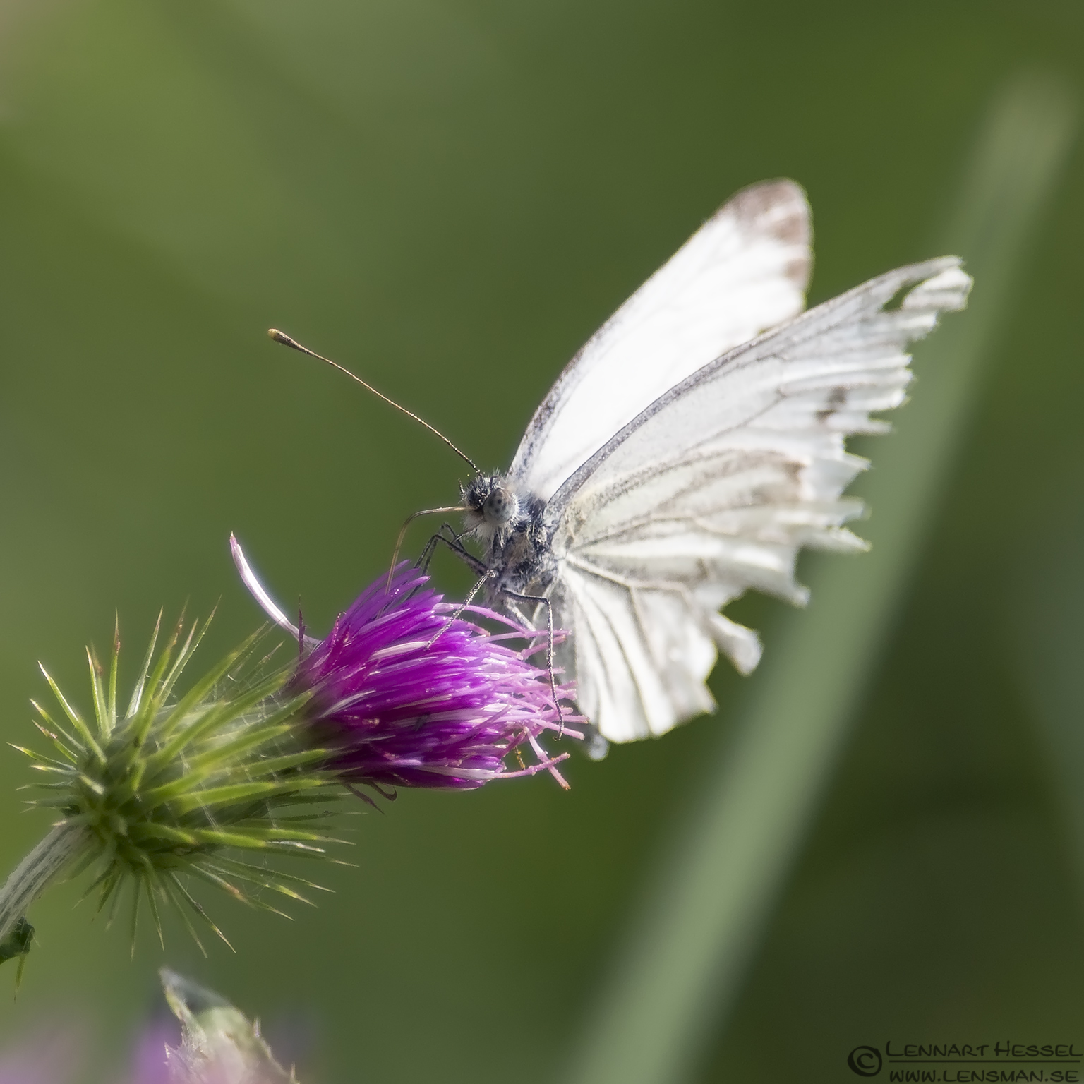 Small White Butterfly weekend