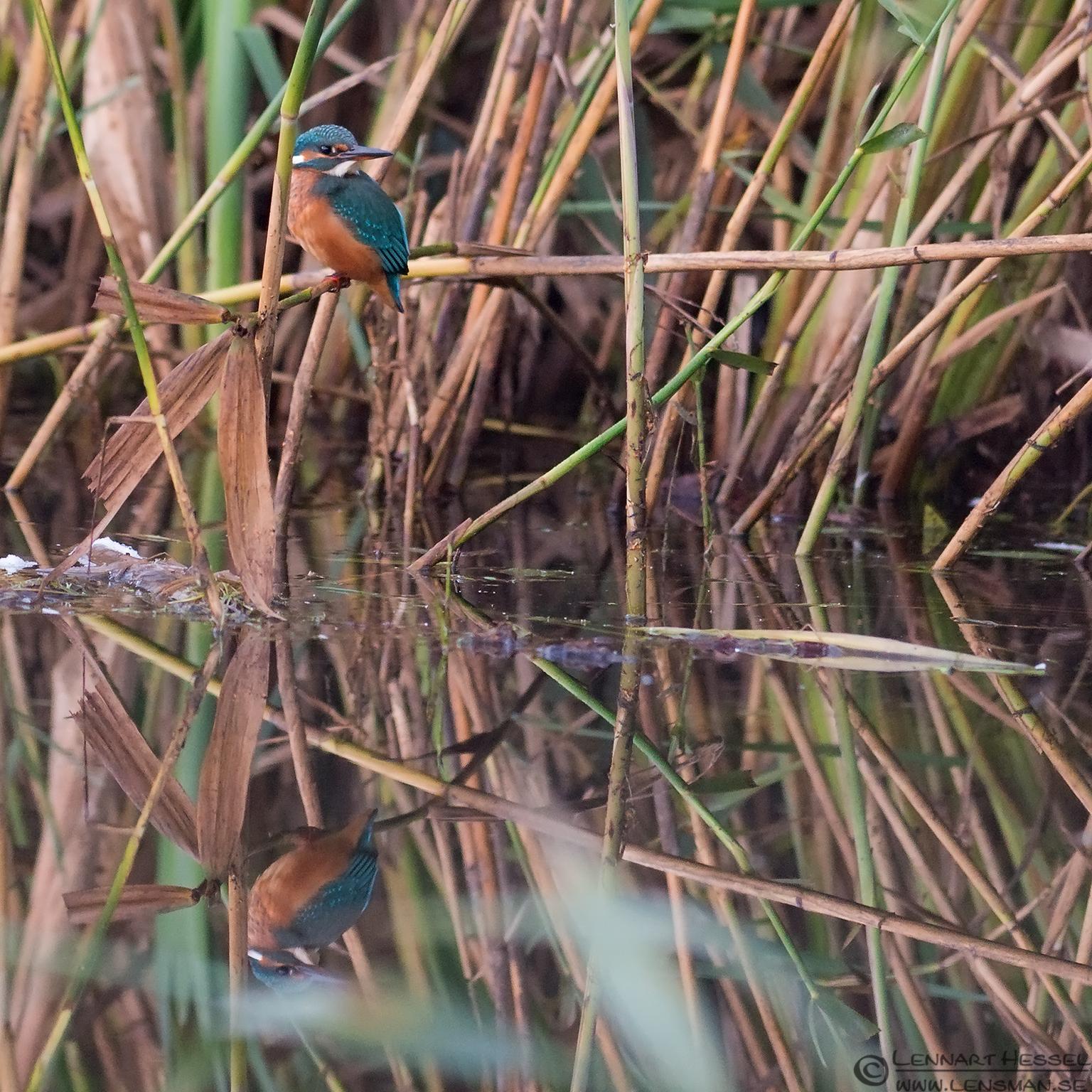 Perching Common Kingfisher weekend
