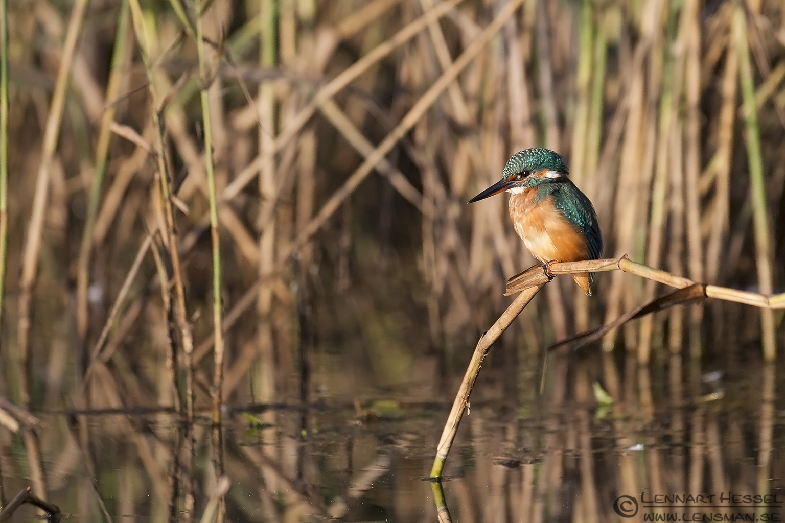 Common Kingfisher in habitat