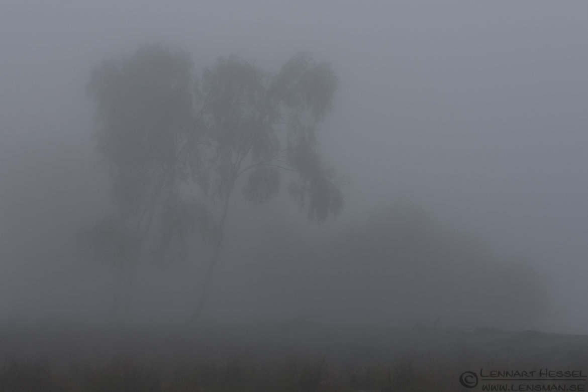 Birches fog