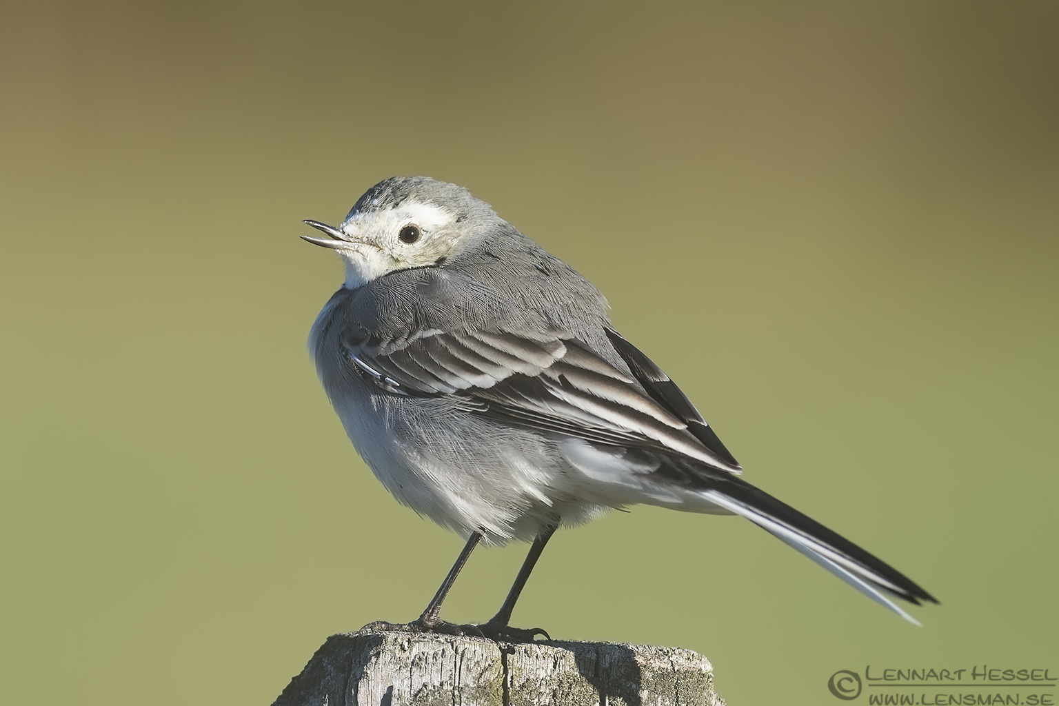 White Wagtail fog