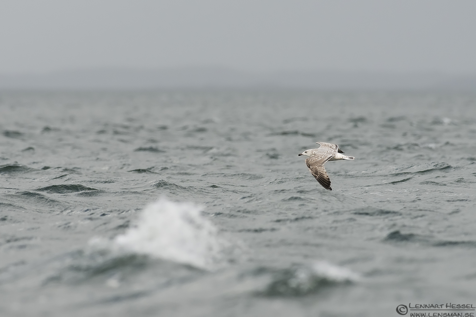 Great Black-backed Gull over stormy water