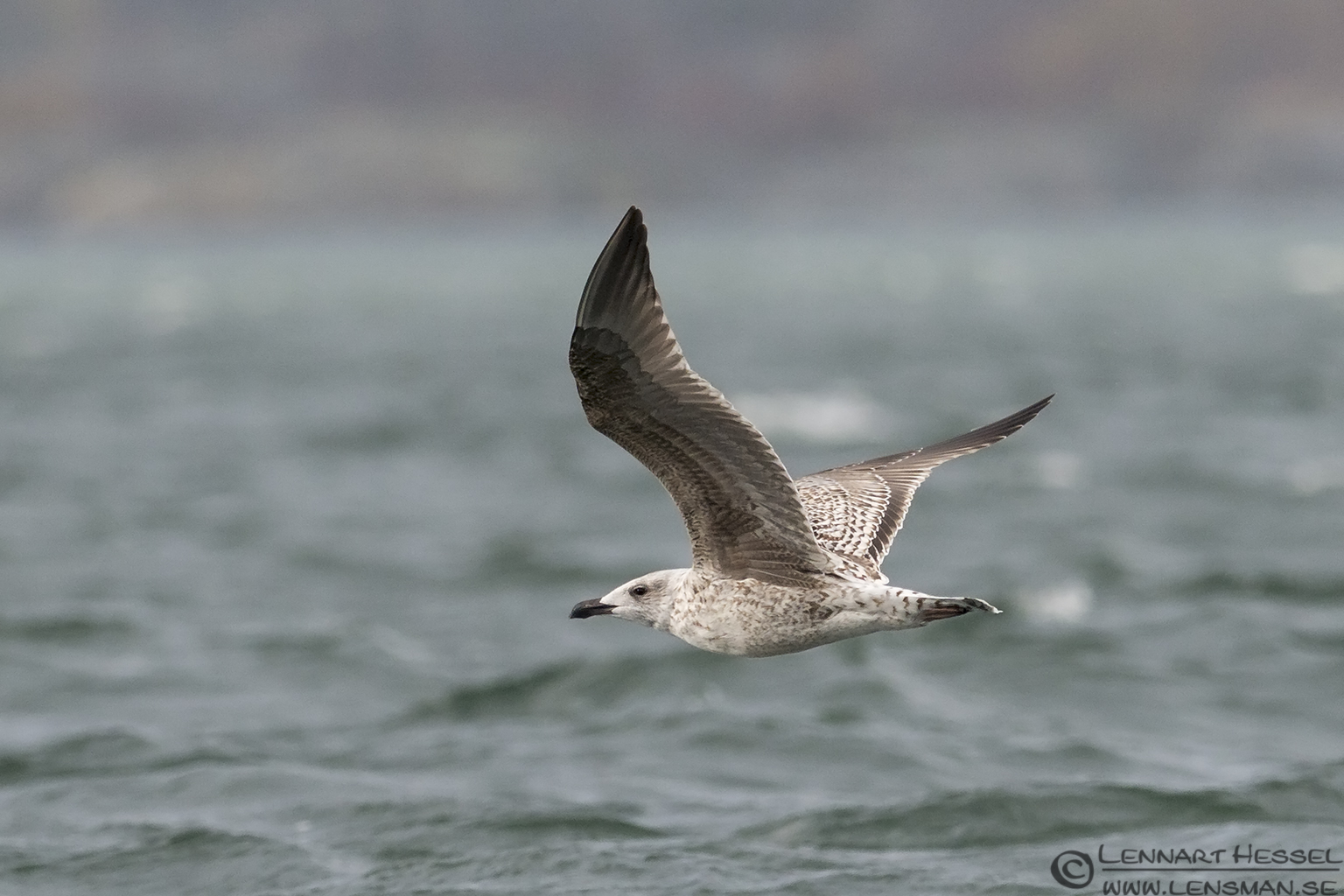 Great Black-backed Gull water