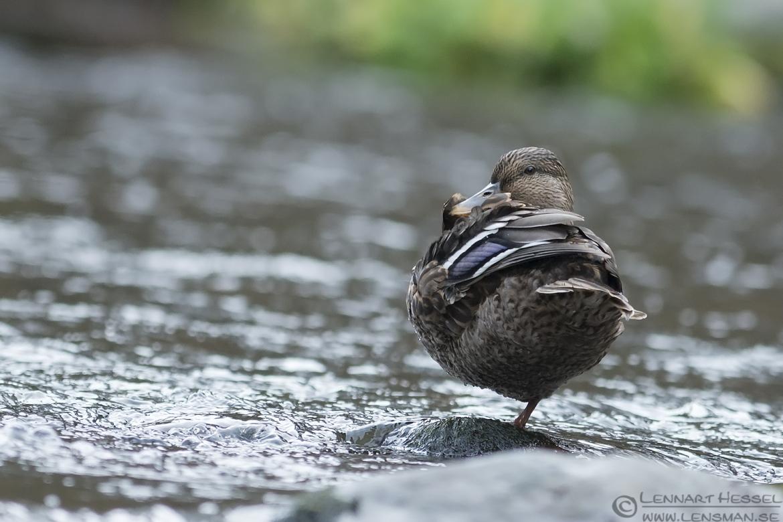 Mallard Duck dipper