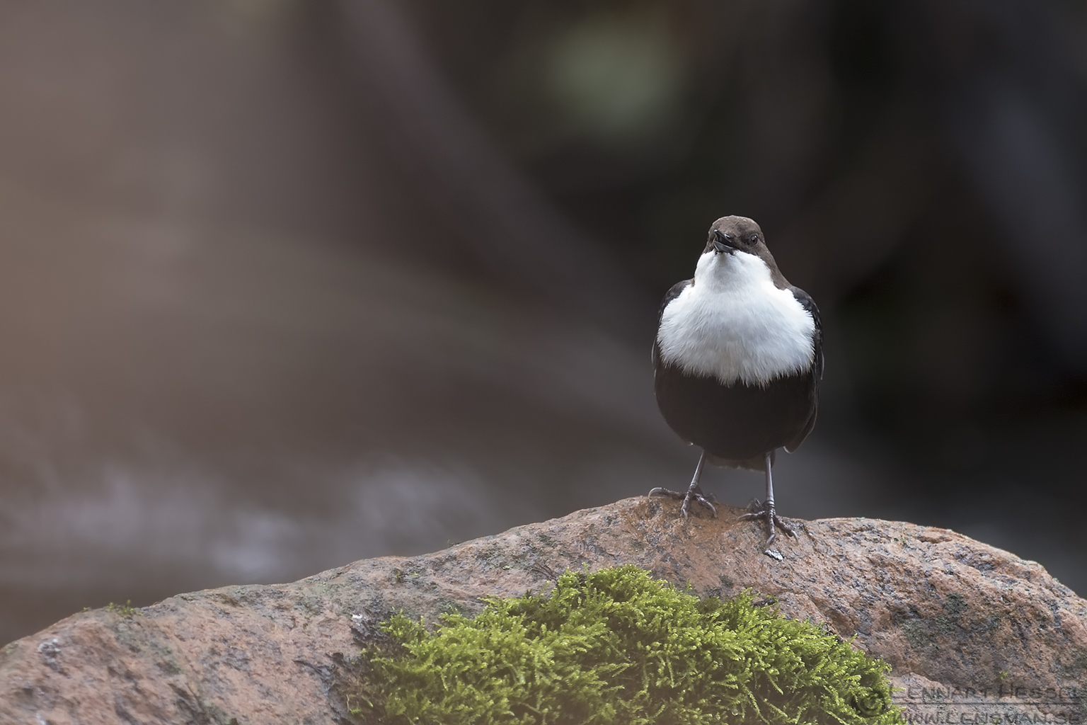 Singing White-throated Dipper