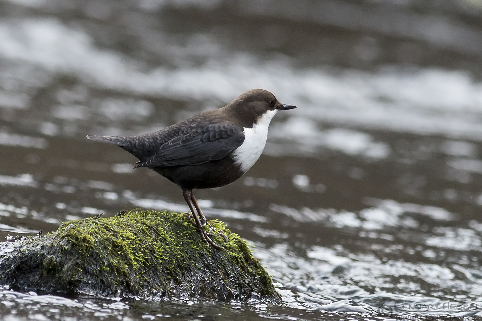 White-throated Dipper on the rock