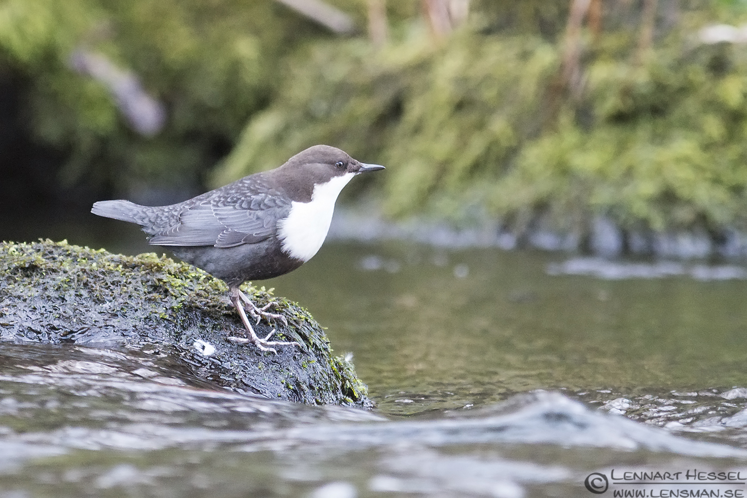 White-throated Dipper moon