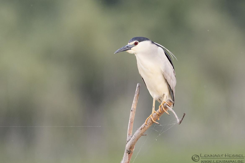Black-crowned Night Heron wild bird National Geographic