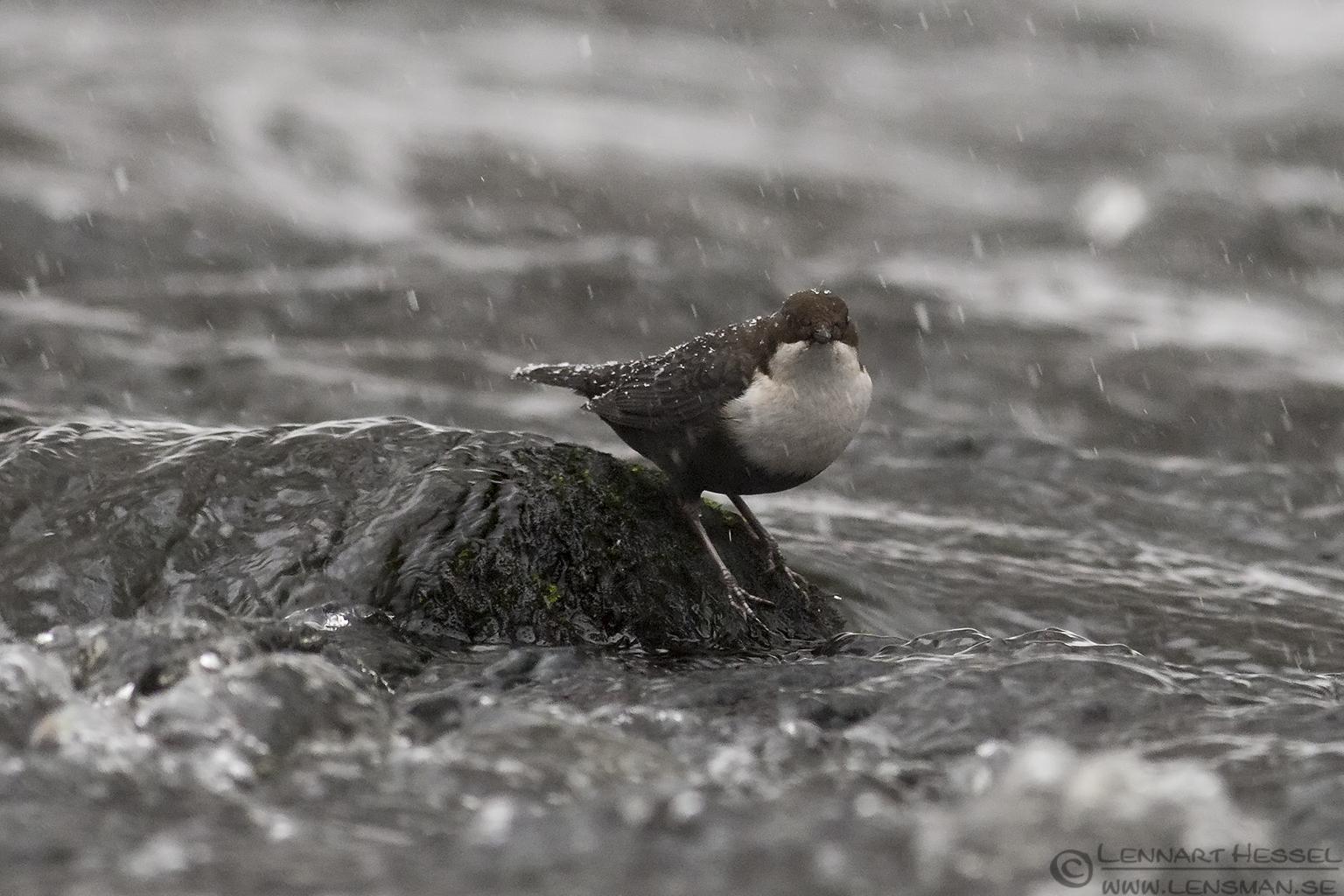 White-throated Dipper weekend