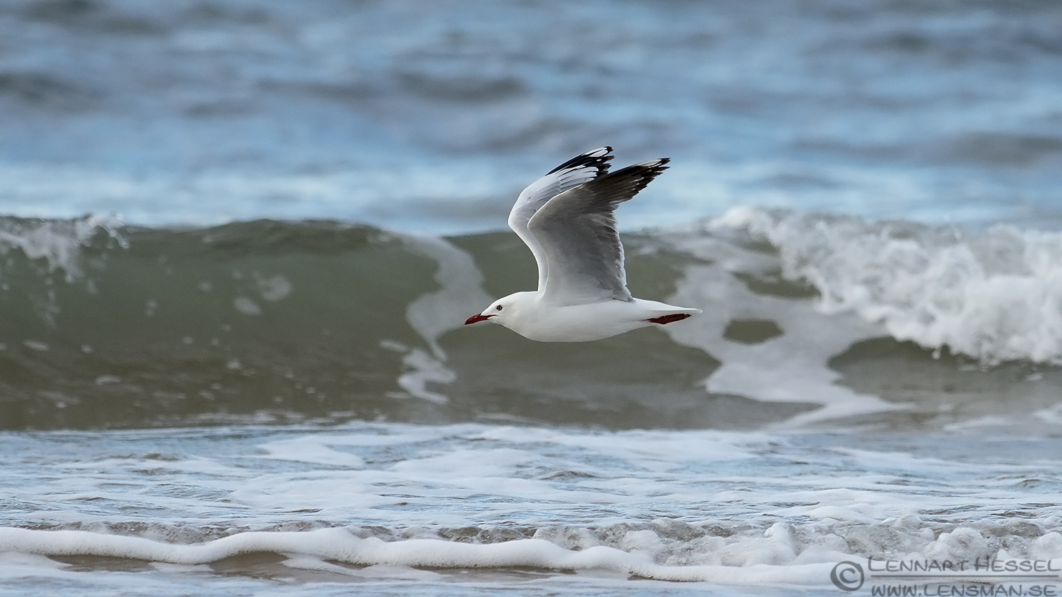 Silver Gull Australia