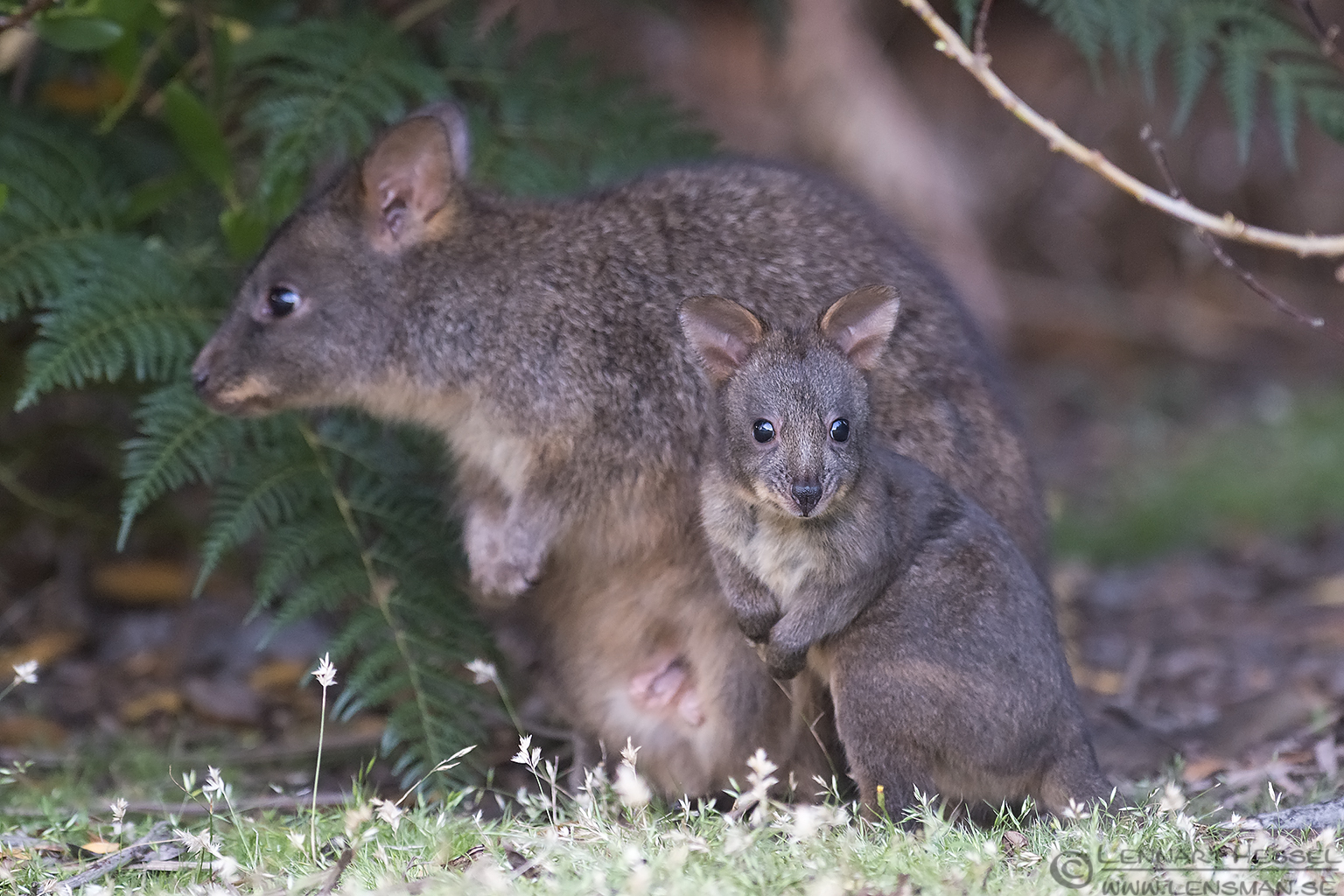 Red-bellied Pademelon with young christmas