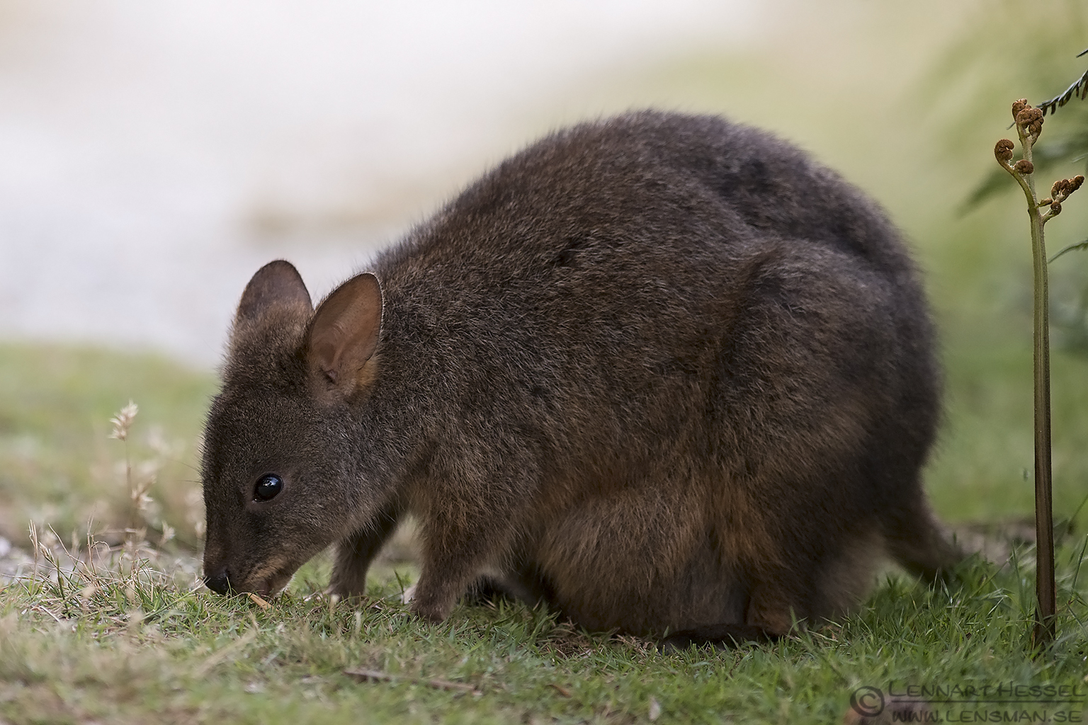 Red-bellied Pademelon christmas