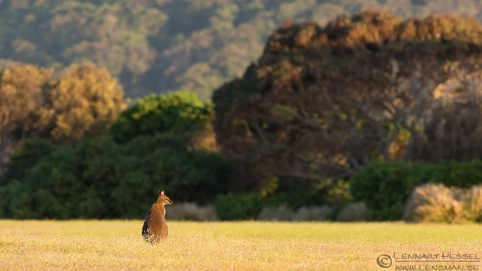 Red-necked Wallaby christmas