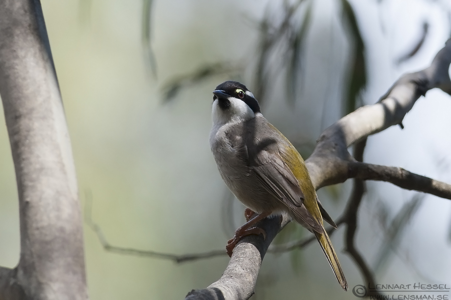 Strong-billed Honeyeater christmas