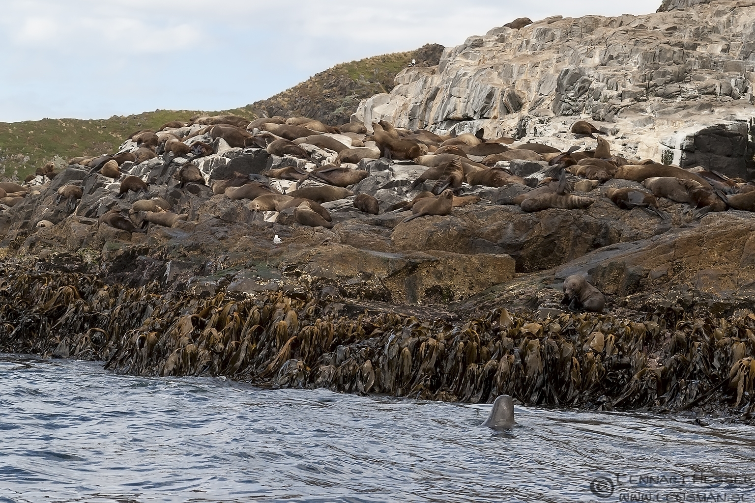 Australian Fur Seal colony Bruny Island