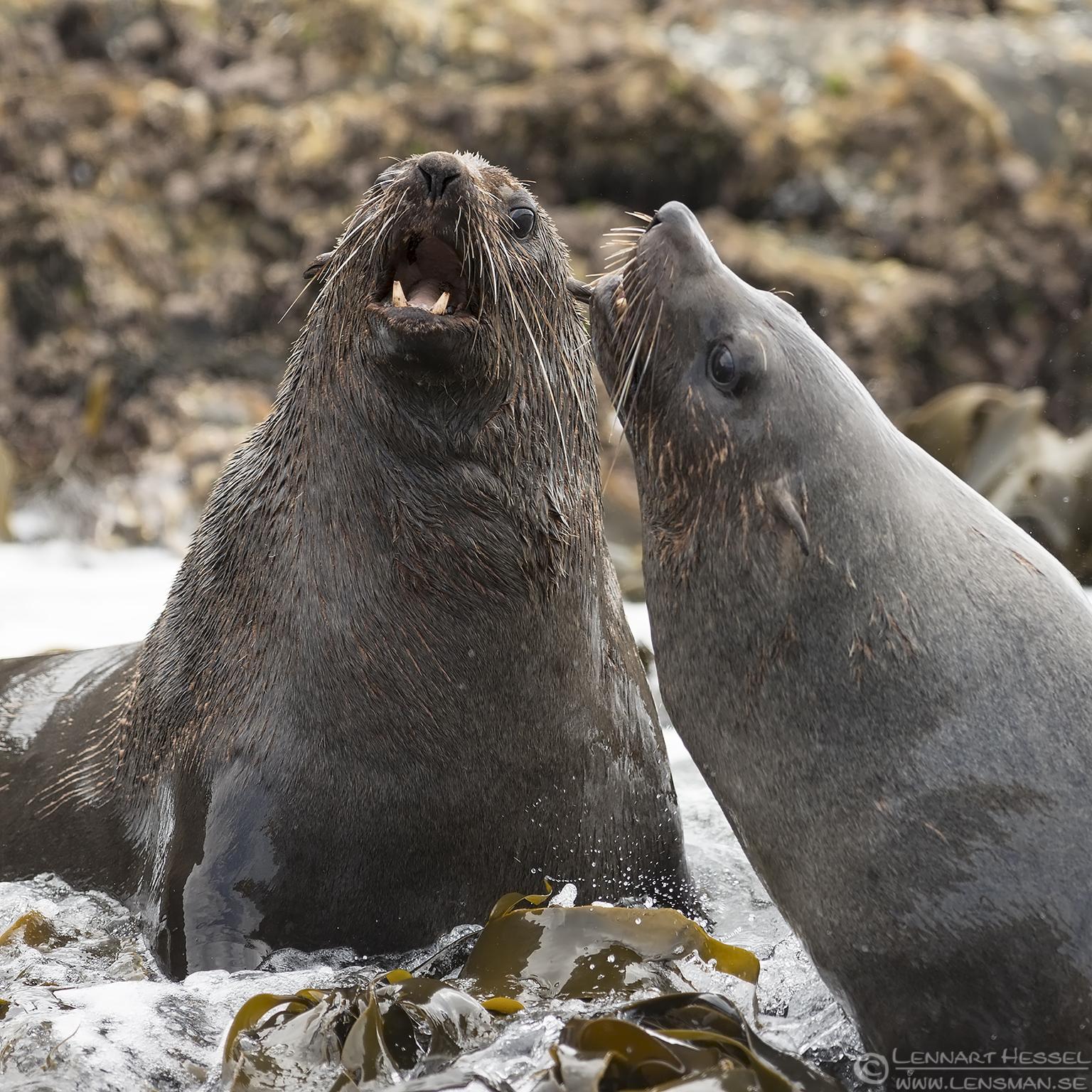 Australian Fur seal Bruny Island
