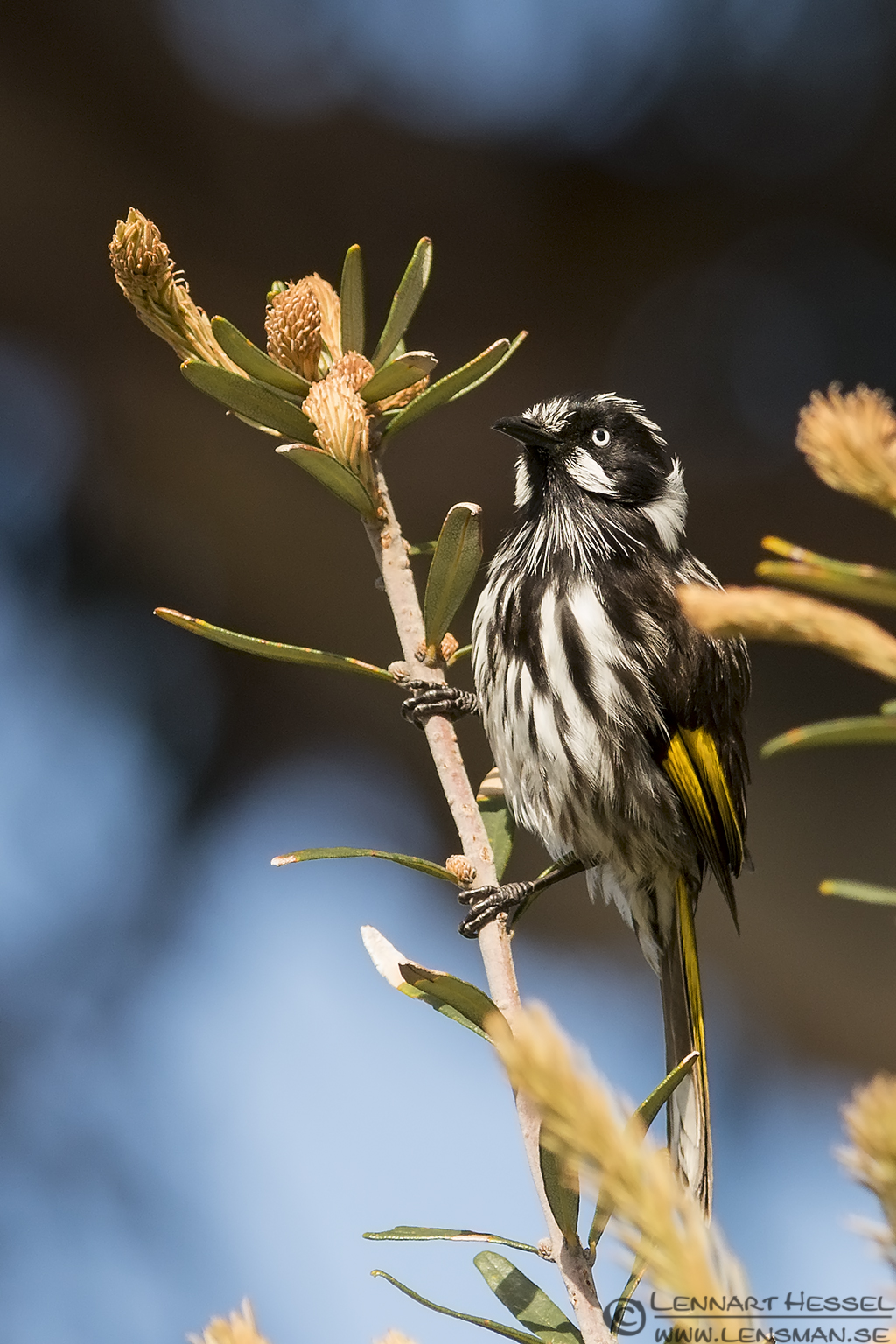 New Holland Honeyeater Bruny Island